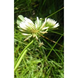 Trifolium michelianum Savi (Trèfle de Micheli)