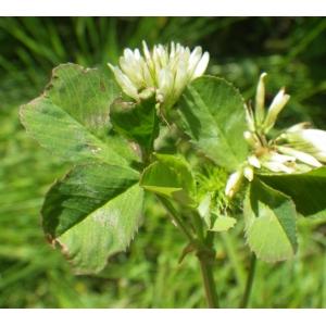 Trifolium michelianum Savi [1798] (Trèfle de Micheli)