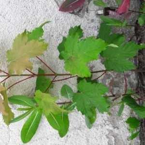 Photographie n°1789819 du taxon Acer pseudoplatanus L.