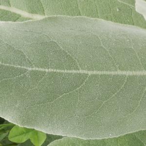 Photographie n°1790615 du taxon Verbascum pulverulentum Vill.