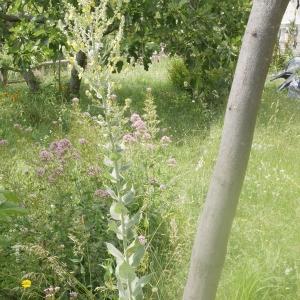 Photographie n°1790639 du taxon Verbascum pulverulentum Vill.