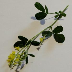 Photographie n°1794617 du taxon Trigonella officinalis (L.) Coulot & Rabaute [2013]