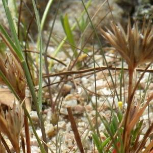 Photographie n°1797029 du taxon Juncus hybridus Brot.
