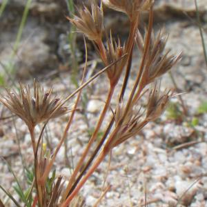 Juncus hybridus Brot. (Jonc hybride)