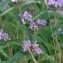 dominique chambaud - Phlomis herba-venti subsp. herba-venti