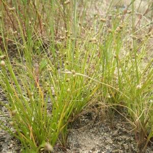 Photographie n°1797613 du taxon Isolepis pseudosetacea (Daveau) Vasc. [1970]