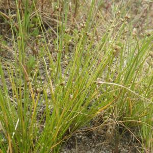 Photographie n°1797625 du taxon Isolepis pseudosetacea (Daveau) Vasc. [1970]