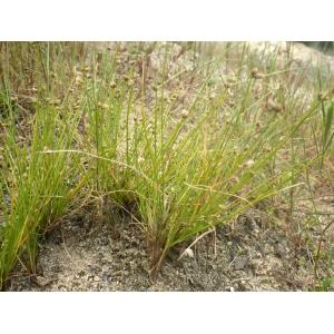 Isolepis pseudosetacea (Daveau) Vasc. (Faux Scirpe sétacé)