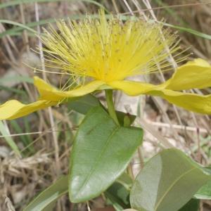 Hypericum calycinum L. (Millepertuis à calice persistant)