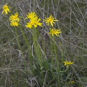 Photographie n°1798844 du taxon Senecio gerardi Gren. & Godr.