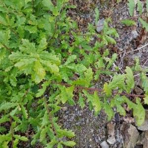 Photographie n°1798918 du taxon Quercus robur L. [1753]