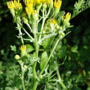 - Jacobaea erucifolia subsp. erucifolia