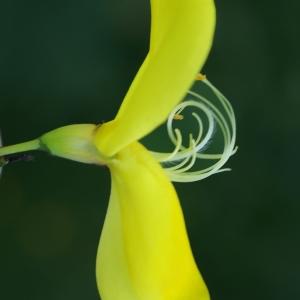 Photographie n°1803998 du taxon Cytisus scoparius (L.) Link [1822]