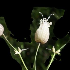 Photographie n°1804138 du taxon Silene vulgaris (Moench) Garcke [1869]