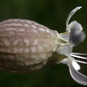Photographie n°1804141 du taxon Silene vulgaris (Moench) Garcke [1869]