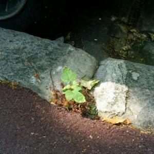 Photographie n°1804820 du taxon Acer pseudoplatanus L.