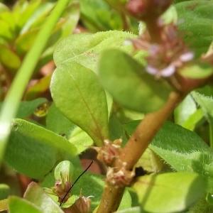 Photographie n°1805041 du taxon Lythrum portula (L.) D.A.Webb
