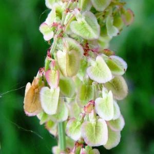 Rumex acetosa L. subsp. acetosa (Grande Oseille)