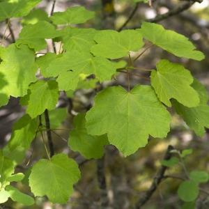Photographie n°1807229 du taxon Acer opalus Mill.