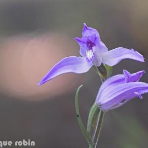 Photographie n°1807323 du taxon Cephalanthera rubra (L.) Rich. [1817]