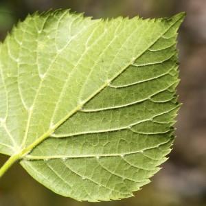 Photographie n°1807709 du taxon Tilia platyphyllos Scop. [1771]