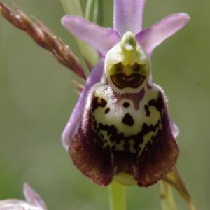 Photographie n°1808381 du taxon Ophrys fuciflora (F.W.Schmidt) Moench [1802]