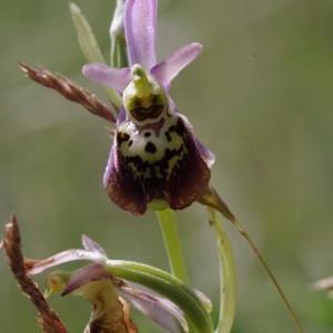 - Ophrys fuciflora (F.W.Schmidt) Moench [1802]