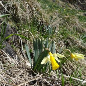 Photographie n°1808457 du taxon Narcissus pseudonarcissus L. [1753]