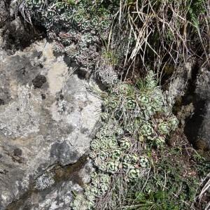 Photographie n°1808497 du taxon Saxifraga paniculata Mill.