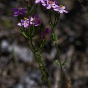 - Centaurium erythraea Rafn [1800]