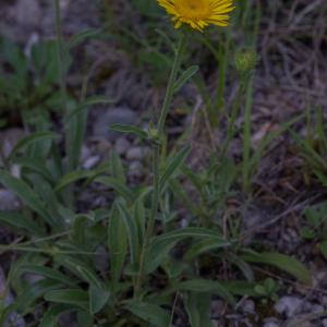- Inula montana L. [1753]