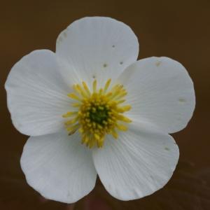Photographie n°1825573 du taxon Ranunculus aconitifolius L. [1753]