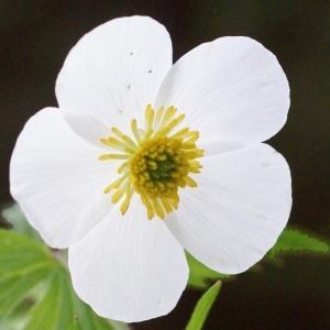 Photographie n°1825656 du taxon Ranunculus aconitifolius L. [1753]