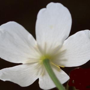 Photographie n°1825850 du taxon Ranunculus aconitifolius L. [1753]
