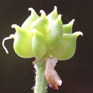Photographie n°1825861 du taxon Ranunculus aconitifolius L. [1753]