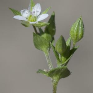Photographie n°1828033 du taxon Arenaria serpyllifolia L. [1753]