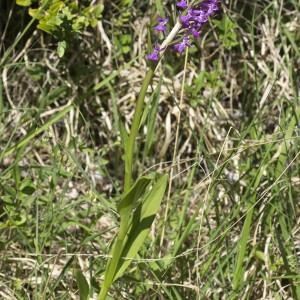 Photographie n°1828091 du taxon Dactylorhiza elata subsp. sesquipedalis (Willd.) Soó [1962]