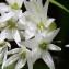 Michel Pansiot - Allium ursinum L. [1753]