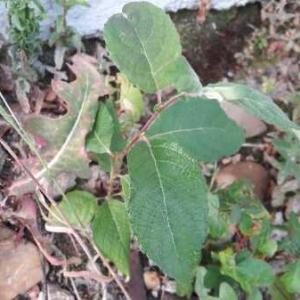 Photographie n°1830596 du taxon Prunus sp.
