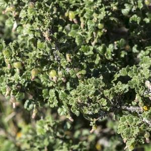 Photographie n°1836210 du taxon Ribes uva-crispa L. [1753]