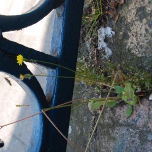 Photographie n°1838171 du taxon Crepis sancta subsp. nemausensis (Vill.) Babc. [1941]