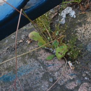 Photographie n°1838175 du taxon Crepis sancta subsp. nemausensis (Vill.) Babc. [1941]