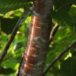 Photographie n°1841843 du taxon Prunus avium (L.) L. [1755]