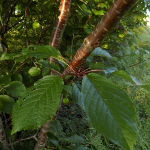 Photographie n°1841846 du taxon Prunus avium (L.) L. [1755]