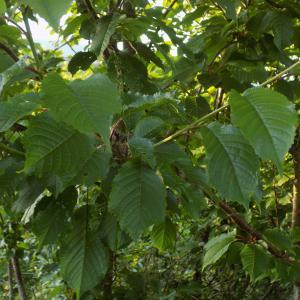 Photographie n°1841849 du taxon Prunus avium (L.) L. [1755]