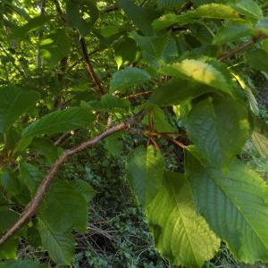 Photographie n°1842654 du taxon Prunus avium (L.) L. [1755]