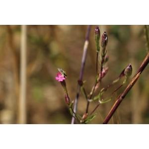 Silene muscipula L. [1753] (Silène attrape-mouches)