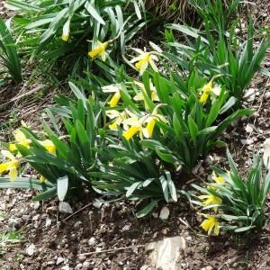 Photographie n°1847173 du taxon Narcissus pseudonarcissus L. [1753]