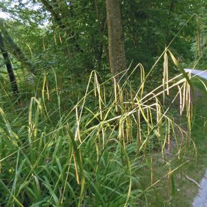 Photographie n°1871671 du taxon Carex pendula Huds.