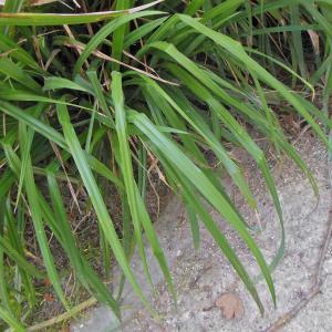 Photographie n°1871673 du taxon Carex pendula Huds.